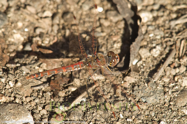 Odonata Variegated meadowhawk, Sympetrum corruptum.  Sweetwater River, California