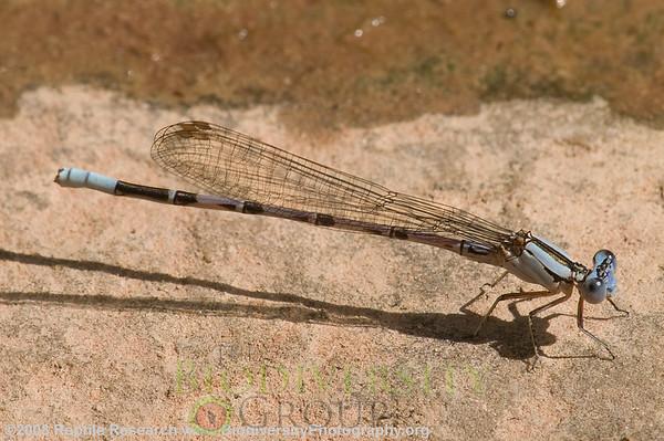 Odonata Argia cf. plana.  Negro Bill Canyon, near Arches National Park, Utah.