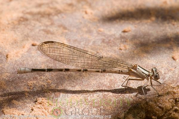 Odonata Argia cf. extranea.  Negro Bill Canyon, near Arches National Park, Utah.