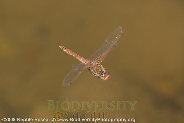 Odonata Sympetrum corruptum.  Tres Rios.  Phoenix, Arizona.