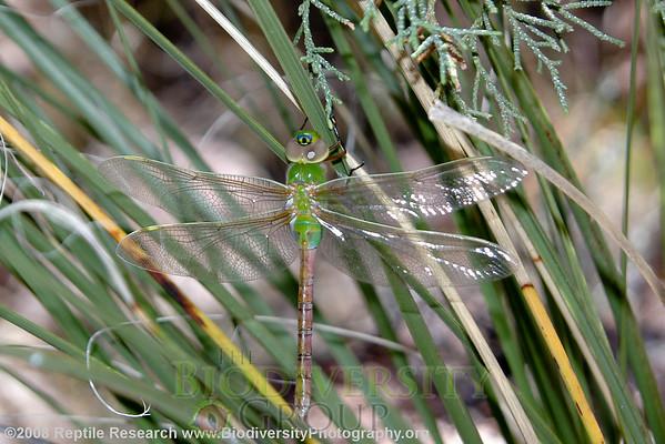 Odonata.  Huachuca Mountains, Arizona.