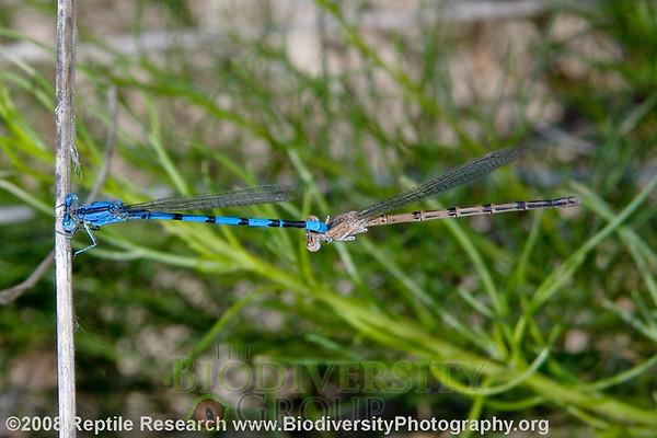 Odonata Argia sp.  Hassayampa River Preserve, Arizona.