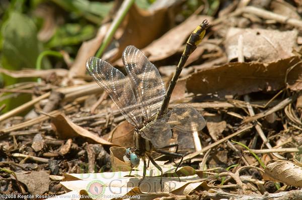 Odonata Gomphus graslinellus.  Lost Maples State Park, Texas.
