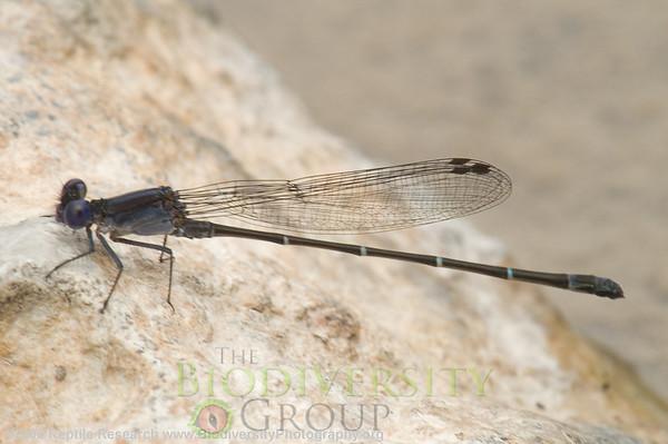 Odonata Argia cf. tezpi.  Lost Maples State Park, Texas.