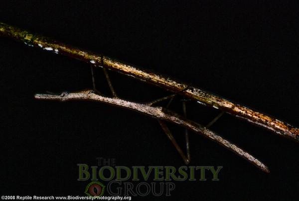 Proscopiidae.  Tito Santos Dry Forest Reserve, a few miles south of the equator on the Pacific Coast, Ecuador.