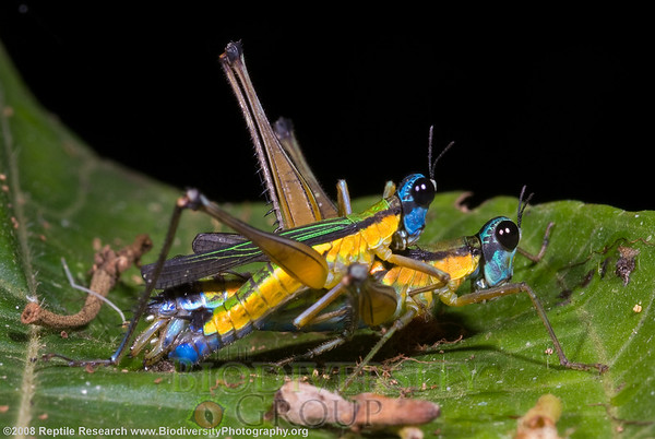 Eumastacidae, Eumastax vittata napoana.  Estación Biológica Jatun Sacha near the Town of Misahualli in the Upper Amazon Rainforest, Ecuador.