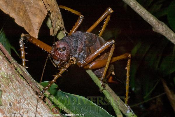 Orthoptera.  Tiputini Biodiversity Station adjacent to the Yasuní Biosphere Reserve on the Tiputini River in the Amazon Rainforest, Ecuador.