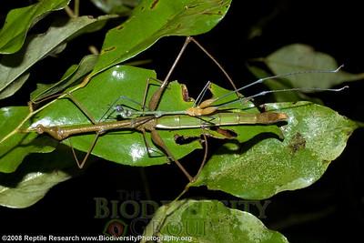 Proscopiidae.  Yasuni Scientific Research Station on the Tiputini River in the Amazon Rainforest, Ecuador.