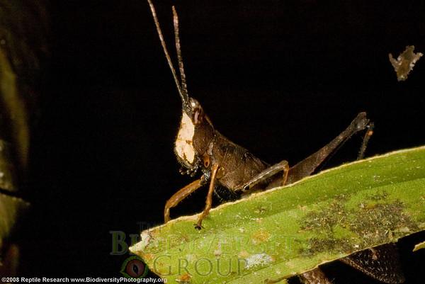 Romaleidae, Phaeoparia sp.  Estación Biológica Jatun Sacha near the Town of Misahualli in the Upper Amazon Rainforest, Ecuador.