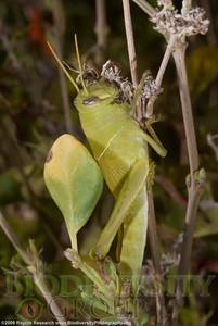 Acrididae, Schistocerca sp.  Arizona Sonora Desert Museum.