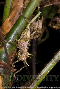 Orthoptera.  Cerro Pata de Pajaro, Ecuador.