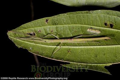 Pseudophasmatidae, Metriophasma sp.  Cerro Pata de Pajaro, Manabi, Ecuador.
