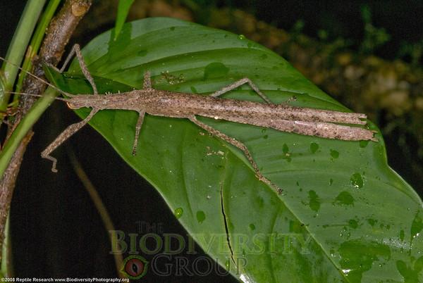 Phasmida.  Bosque Protector La Perla near the town of La Concordia, Ecuador.