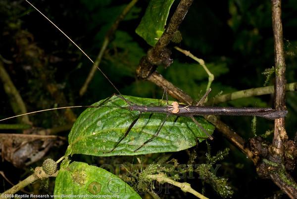 Phasmida.  Cerro Pata de Pajaro, Ecuador.