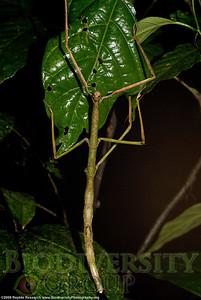 Diapheromeridae.  Bosque Protector La Perla near the town of La Concordia, Ecuador.
