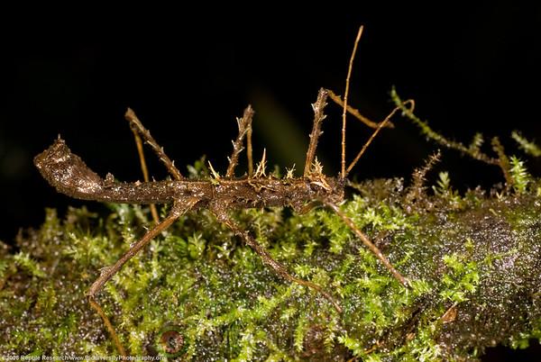 Pseudophasmatidae, Acanthoclonia sp.  Cerro Pata de Pajaro, Ecuador.