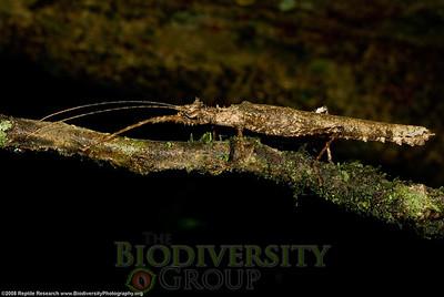 Pseudophasmatidae, Xylospinodes sp.  Bosque Protector La Perla near the town of La Concordia, Ecuador.