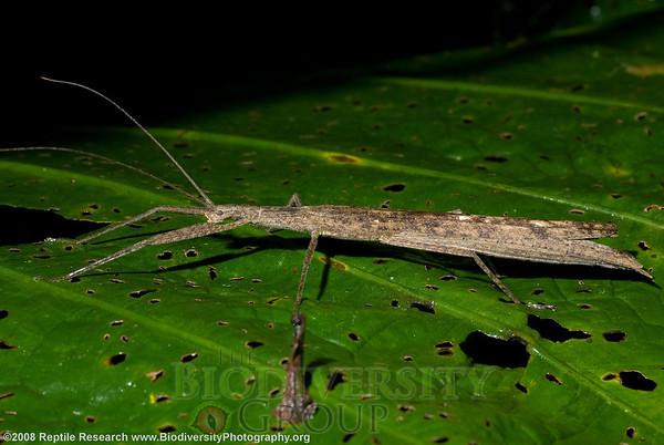 Pseudophasmatidae, Metriophasma sp.  Cerro Pata de Pajaro, Ecuador.
