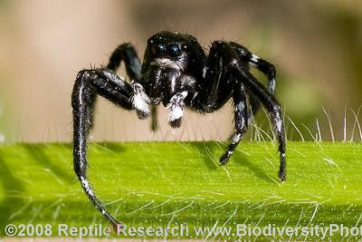 Araneae, Salticidae.