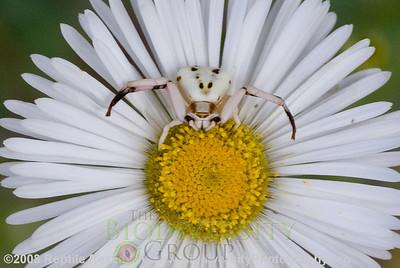Araneae Thomisidae.