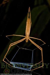 Araneae Deinopidae.  Bosque Protector La Perla near the town of La Concordia, Ecuador.