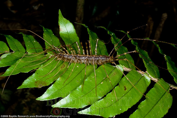 Scutigeromorpha.  Lalo Loor Dry and Moist Forest Reserve, a few miles south of the equator on the Pacific Coast, Manabi, Ecuador.