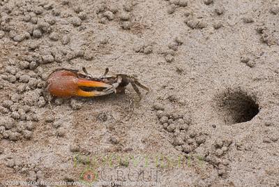 Ocypodidae, Uca galapagensis.  Isla Isabela (or Abemarle), Galapagos, Ecuador.