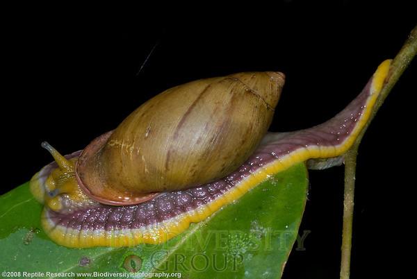 Mollusca Gastropoda.   Yanayacu Biological Station, Orellana, Ecuador.