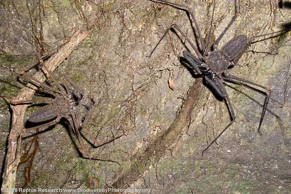 Amblypygi.  Lalo Loor Dry and Moist Forest Reserve, a few miles south of the equator on the Pacific Coast, Ecuador.