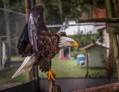 Bald Eagle ( GolfBall )
