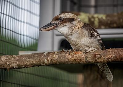 kookaburra ( Luke )