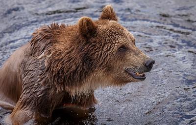 Grizzly Bear ( Leah )