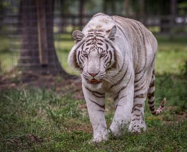 White Tiger ( Tank )