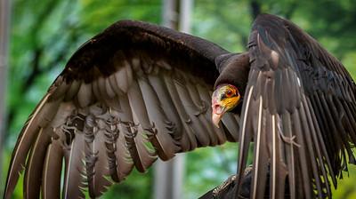Lesser Yellow-Headed Vulture ( Simon )