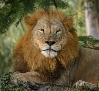 Lion ( Zoo Miami )