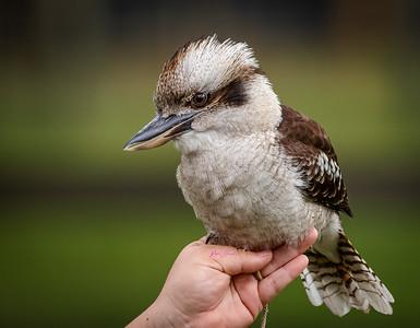 Kookaburra ( Marty )