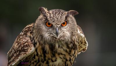 Eagle Owl ( Leo )