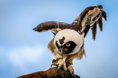 Spectacled Owl ( Maya )