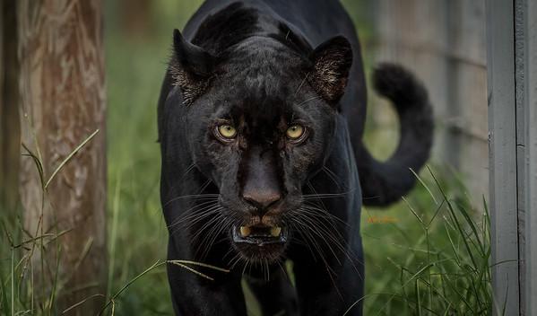 Black Jaguar ( Boomer )