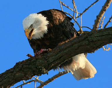 Bald Eagle - Gladstone, Illinois