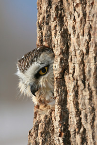 Northern Saw-whet Owl - Aegolius acadicus : Houston County, MN