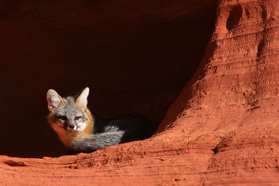 Red Fox - North Coyote Butte, Arizona