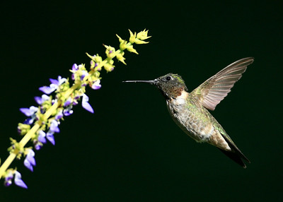 Hummingbird - Dakota County, MN