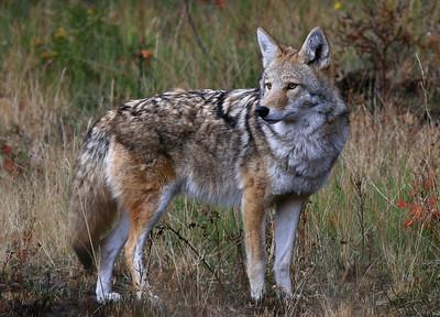 Coyote - Rocky Mountain NP, Colorado