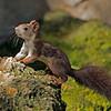 Sciurus vulgaris (Red Squirrel)