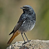 Black Redstart, (Phoenicurus ochruros),