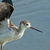 Black-winged Stilt. (Juvenile) Himantopus himantopus