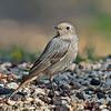 Redstart, (female) Phoenicurus phoenicurus