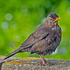 Blackbird (Female) Turdus merula