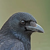 Carrion Crow, Corvus corone.
